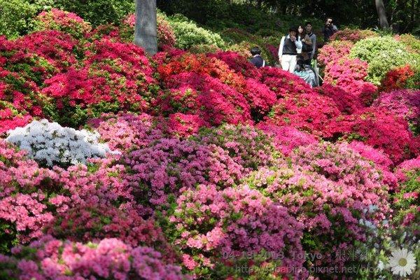 東京景點, 根津神社, 杜鵑花季, 日本賞花, 日本自由行, 東京自助
