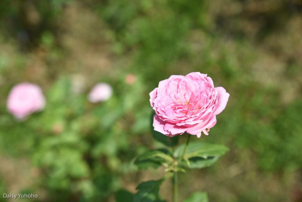 雅聞倍優, 七里香玫瑰森林, 苗栗景點, 頭屋景點, 玫瑰花園, 苗栗旅遊, 免門票景點, 玫瑰花季, 雅聞觀光工廠