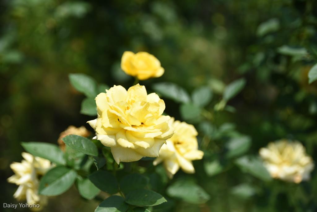 雅聞七里香玫瑰森林, 苗栗景點, 頭屋景點, 玫瑰花園, 苗栗旅遊, 免門票景點, 玫瑰花季, 雅聞觀光工廠